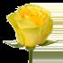 Роза желтая Илиос 50 см (Россия)