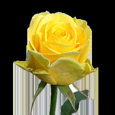 Роза Илиос 40 см (Россия)