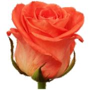 Роза Вау 50 см (Россия)